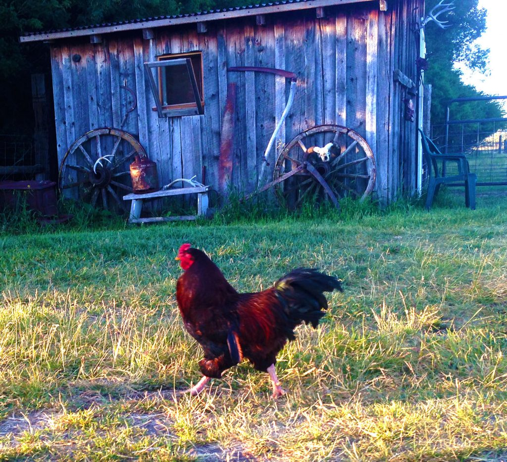 no alarm clock necessary. the roosters crow to stir me from my slumber.