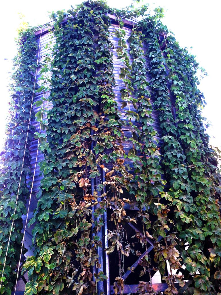 hops growing at the Lewis & Clark Brewery in Helena, MT